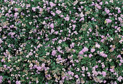 Spiraea Japonica 'bumalda' Flowers Art Print by Adrian Thomas