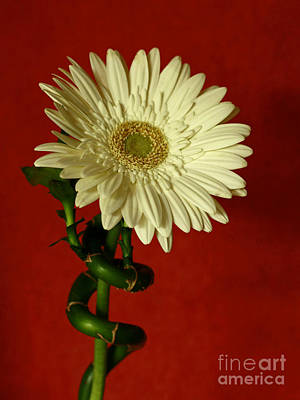 Spiral Of Life   Gerber Daisy Art Print by Inspired Nature Photography Fine Art Photography