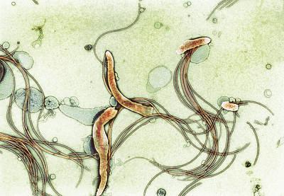 Spirochete Bacteria, Tem Art Print by Hazel Appleton, Centre For Infectionshealth Protection Agency