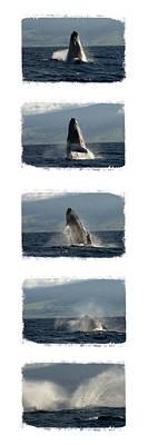Right Whale Breach Photograph - Splash by Justine Cornelius