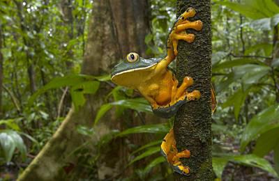 Splendid Leaf Frog  Costa Rica Print by Piotr Naskrecki