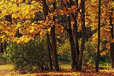Splendor Of Autumn. Maples In Golden Dresses Art Print by Jenny Rainbow