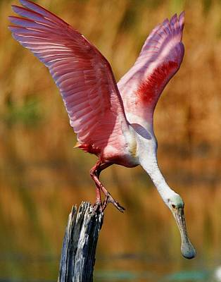 Photograph - Spoonbill On A Stick by Ira Runyan