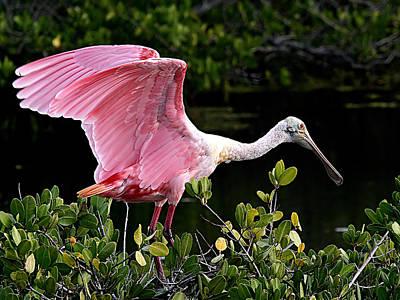 Photograph - Spoonbill On Mangrove by Ira Runyan
