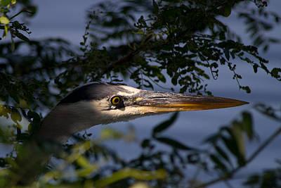 Spotlighted Blue Heron Art Print by DK Hawk