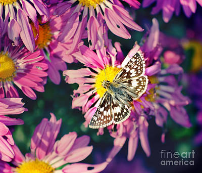 Photograph - Spotted Brown Beauty Butterfly  by Peggy Franz