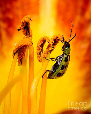 Cucumber Beetle Photograph - Spotted Cucumber Beetle by Carl Jackson