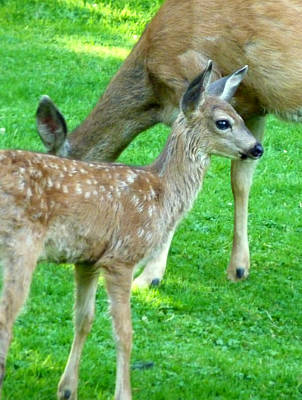Art Print featuring the photograph Spotted Fawn And Doe by Cindy Wright