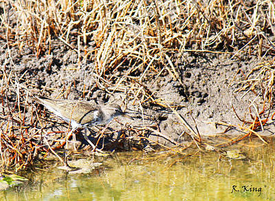 Photograph - Spotted Sandpiper At The Canal by Roena King