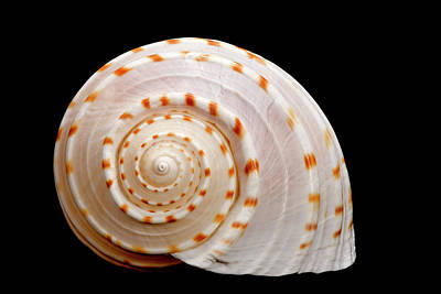 Spotted Sea Snail Shell Art Print by Michael Smith Photography/Studio One Pensacola