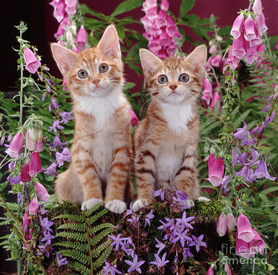 Animal Portraiture Photograph - Spotted Tabby Kittens by Jane Burton