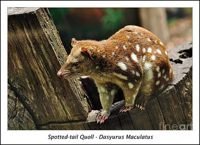 Marsupial Photograph - Spotted-tail Quoll 2 by Kaye Menner
