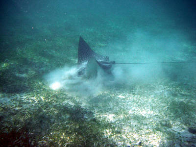 Photograph - Sppoted Eagle Ray In The Feed by David Wohlfeil