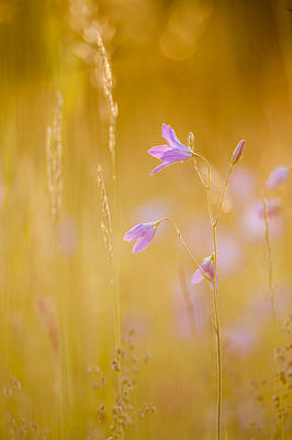 Close Focus Nature Scene Photograph - Spreading Bellflower In Backlighting by Olaf Broders