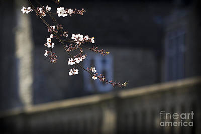 Photograph - Spring Blossom 2 by Clare Bambers