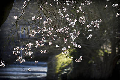 Photograph - Spring Blossom by Clare Bambers