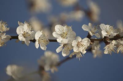 Spring Blossoms Art Print by Ayhan Altun