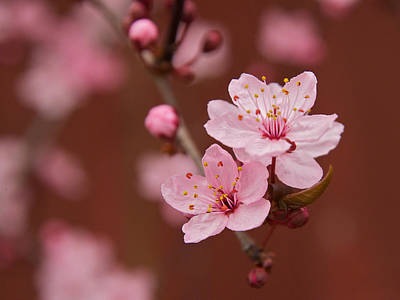 Spring Blossoms Art Print by Bob Smithing