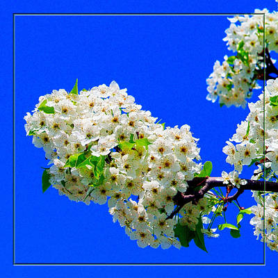 Photograph - Spring Blossoms by Robert Clayton