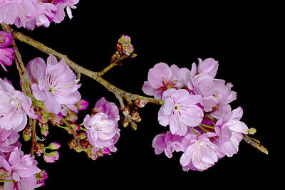Spring Cherry Blossoms 2 Art Print by Barnaby Chambers