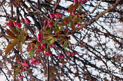 Spring Cherry Blossoms Art Print by Rayofra Ra