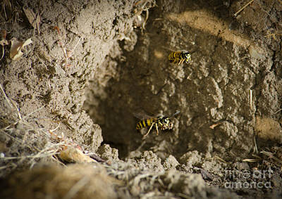 Spring Cleaning Pair Of Wasps Carrying Mud From A Yellow-jacket Wasps Nest Art Print