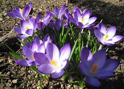 Art Print featuring the photograph Spring Crocus by AmaS Art