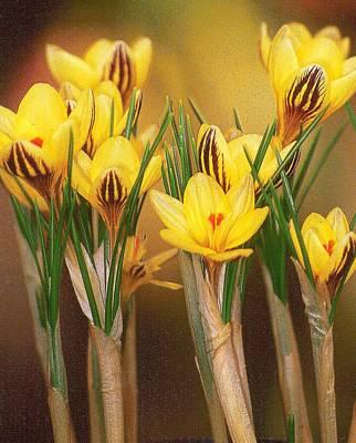Spring Crocus Art Print by Anne Gordon