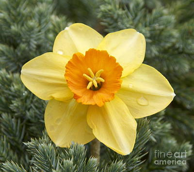 Photograph - Spring Daffodil by Cindy Lee Longhini