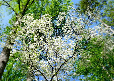 Photograph - Spring Dogwoods 2 by Cindy Wright