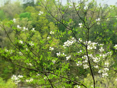 Photograph - Spring Dogwoods by Cindy Wright