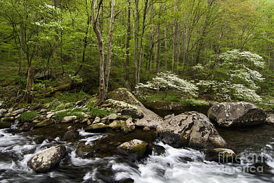 Spring Dogwoods On The Little River - D003829 Original by Daniel Dempster