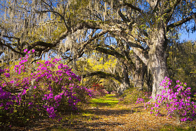 Spring Flowers Charleston Sc Azalea Blooms Deep South Landscape Photography Print by Dave Allen