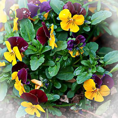 Colourfull Photograph - Spring Fresh Violas by David  Hollingworth