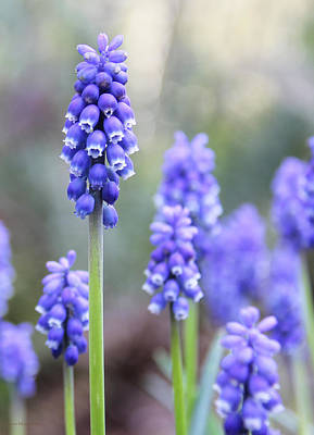 Photograph - Spring Grape Hyacinth Flowers by Jennie Marie Schell