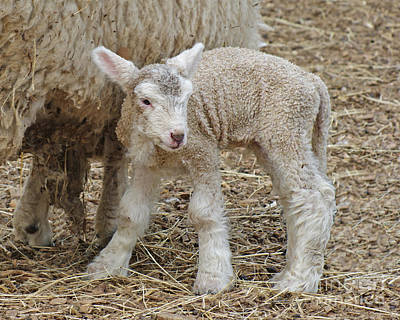 Photograph - Spring Lamb by Margie Avellino