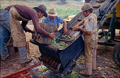 Photograph - Spring Mt. Grape Harvest-2 by Gary Rose
