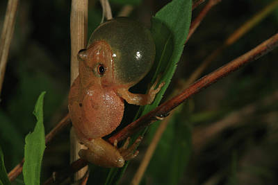 Spring Peepers Photograph - Spring Peeper by Bruce J Robinson