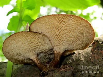 Photograph - Spring Polypore by Timothy Myles