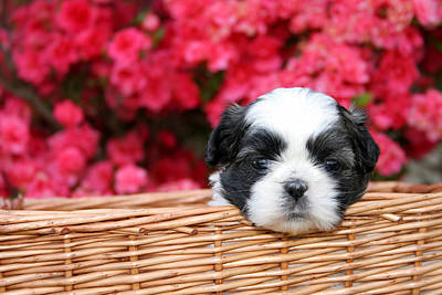 Spring Puppy  Art Print by Darren Fisher