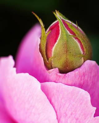 Photograph - Spring Rose 2 by Tim Nichols