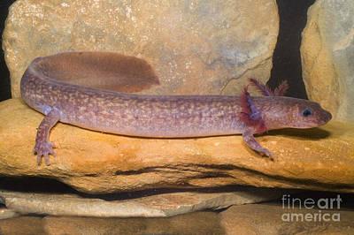 Plethodontidae Photograph - Spring Salamander by Dante Fenolio