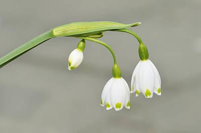 Herald Photograph - Spring Snowflake Leucojum Vernum by Matthias Hauser