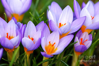 Spring Bulbs Photograph - Spring Song by Sharon Talson