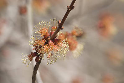Photograph - Spring Tree Bud by Lisa Missenda
