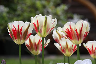 Photograph - Spring Tulips by Cathie Douglas