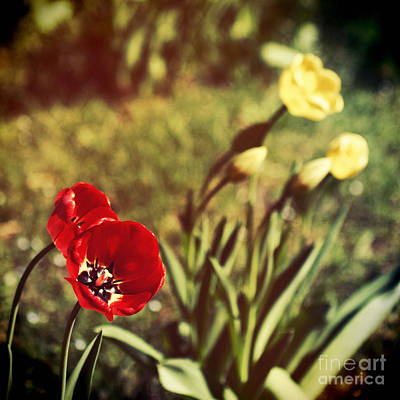 Photograph - Spring Tulips by Silvia Ganora
