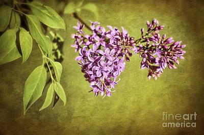 Photograph - Springtime Lilac by Cheryl Davis