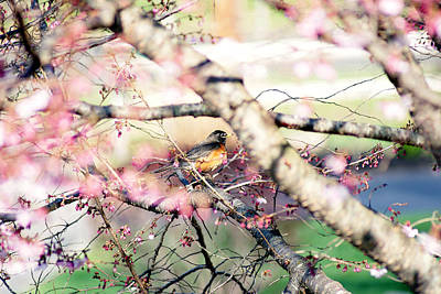 Photograph - Springtime Robin  by Margie Avellino