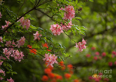 Rhodies Photograph - Sprinkled Amongst by Mike Reid